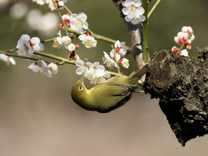 Bird, flowery, twig, Japanese White-eye