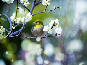 Flowers, Spring, Japanese White-eye, twig, Bird