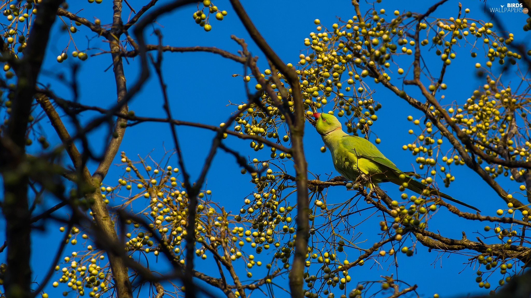 Rose-ringed Parakeet, Bird, Twigs, Fruits, trees, parrot