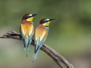 birds, Bee-eaters, branch, Two