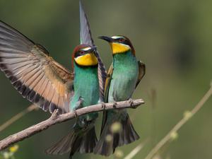 Two cars, European bee-eater, Twigs, birds
