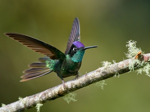 wings, branch, humming-bird, spread, Bird