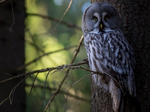 Bird, Tawny owl great gray owl, branch pics, owl