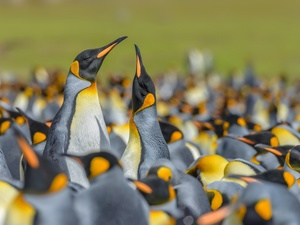 herd, King Penguins, birds