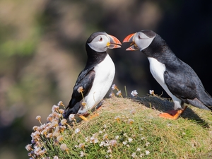 Puffins, Two cars, birds