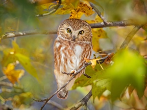 branch pics, Leaf, Boreal Owl, trees, owl