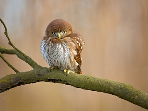 Bird, Little Owl, branch, owl