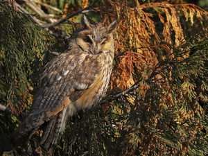 Bird, eagle-owl, branch pics, owl