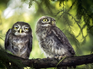 Two, Little Owl, branch, Owls