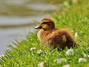 grass, clover, duck, Ducky, small