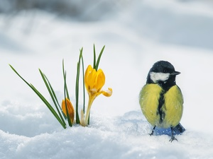winter, Bird, tit, crocuses