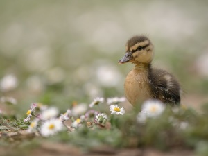daisies, Ducky, Flowers