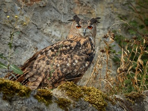 Moss, Plants, Eurasian Eagle-Owl, Rocks, owl