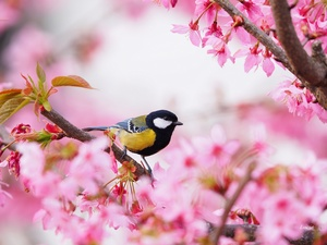 flourishing, tit, Pink, Great Tit, Bird, trees, Flowers