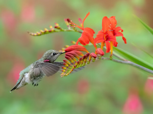 Bird, humming-bird, Flowers, Crocosmia, Red