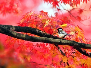 Great Tit, trees, autumn, maple, Leaf, tit, Bird, branch