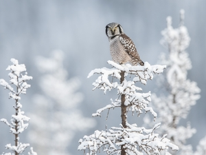 sapling, snow, Northern hawk-owl, Snowy, Bird