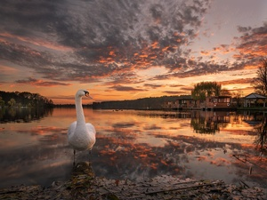 Swans, Houses, Great Sunsets, lake
