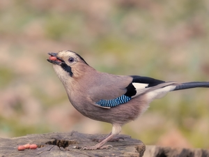 Bird, grains, trunk, jay