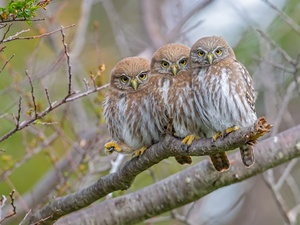 Three, Little Owl, branch, Owls