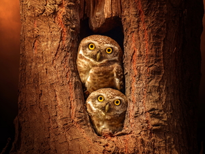 trees, hollow, Owls, Little Owl, Two