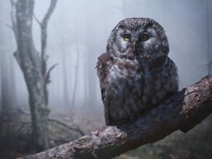 Bird, owl, Boreal Owl, branch