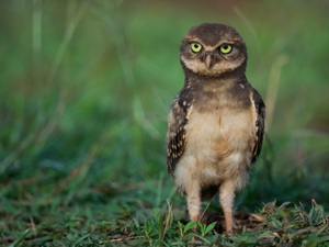 grass, owl, Little Owl