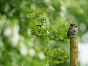 trees, Leaf, Little Owl, peg, owl
