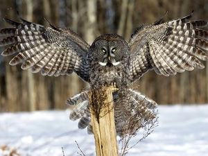 spread, owl, wooden, post, wings, Tawny owl great gray owl