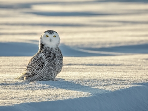 snow, Bird, Snowy Owl