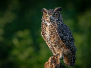 trunk, owl, eagle-owl