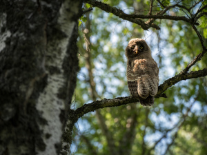 owl, trees, twig, Tawny owl great gray owl