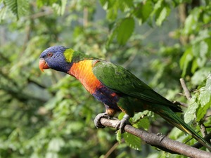 Lod on the beach, branch pics, parrot, Mountain Rainbow Lorikeet, Bird