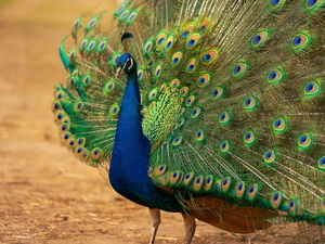 Bird, Outstretched, tail, peacock