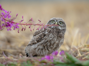 Pink, owl, fuzzy, background, Colourfull Flowers, Little Owl