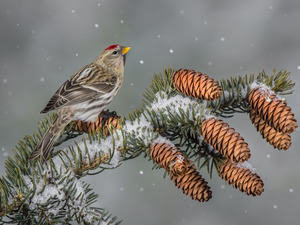 twig, Bird, cones, snow, spruce, Common Redpoll