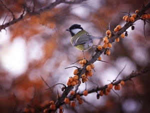 Twigs, tit, Great Tit
