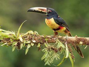 Bird, branch, leaves, Toucan