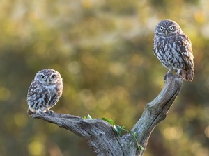 viewes, Lod on the beach, Owls, trees, dry, Two, Little Owl