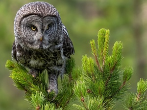 Twigs, spruce, owl, Tawny owl great gray owl, Bird