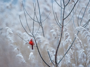 Bird, Twigs, White frost, Northern Cardinal
