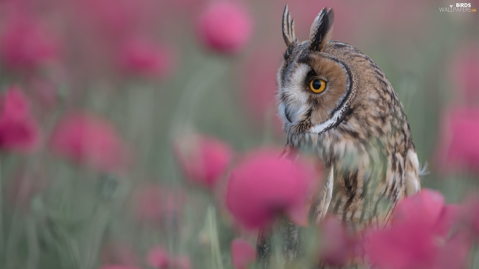 blurry background, Bird, Owl Ear