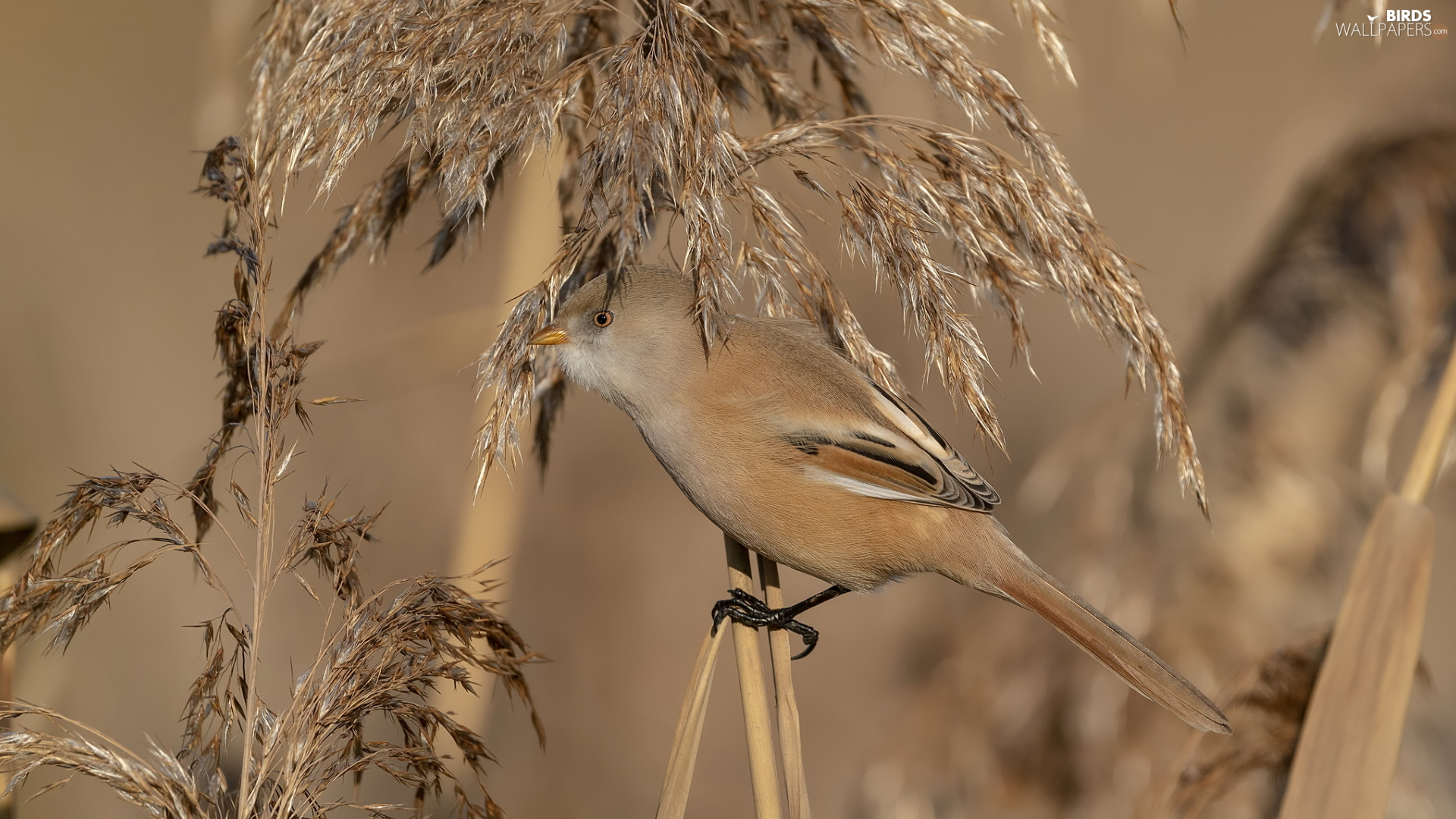 Bird, Bearded Tit, grass, female