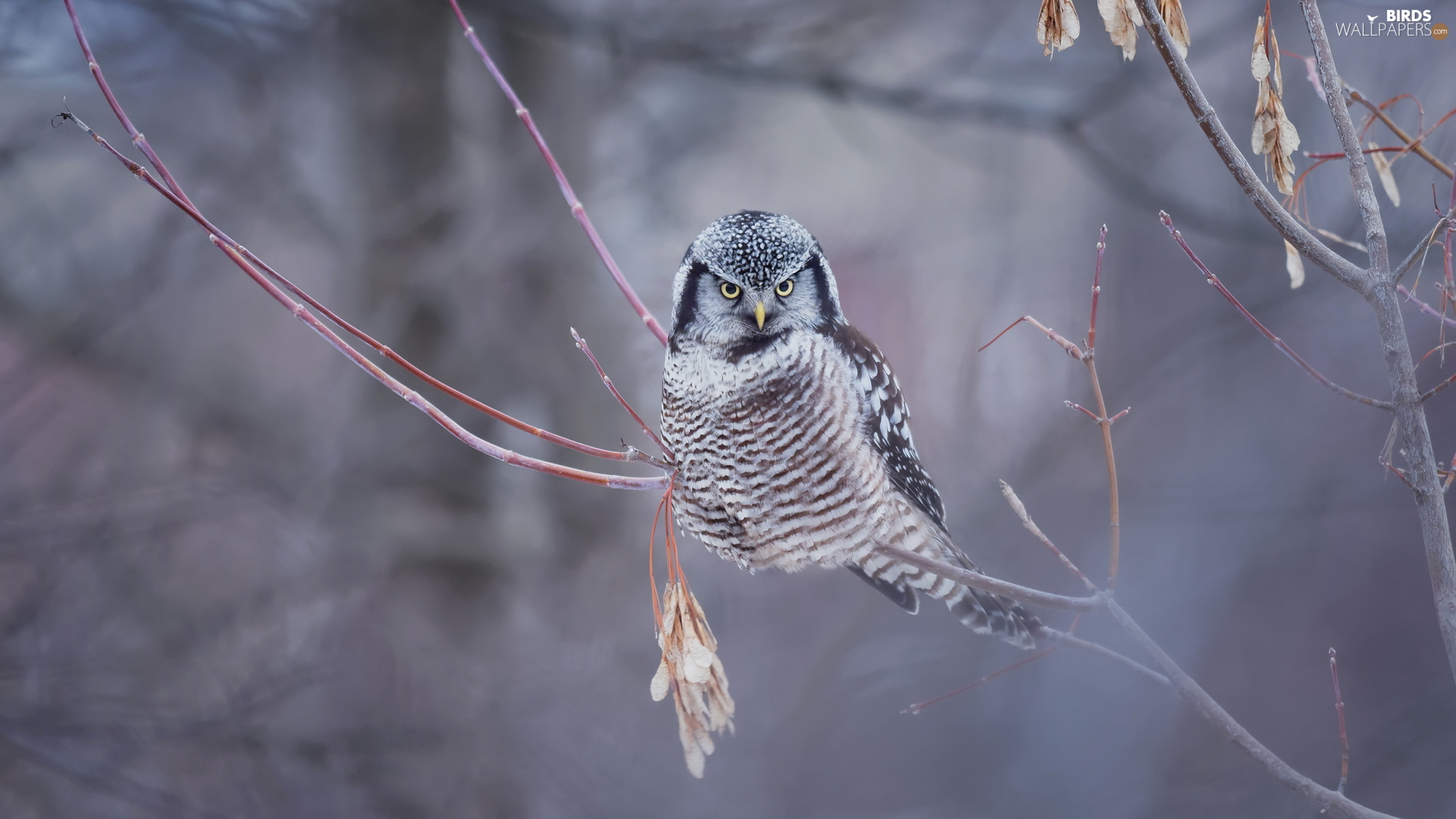 Twigs, Bird, Northern hawk-owl