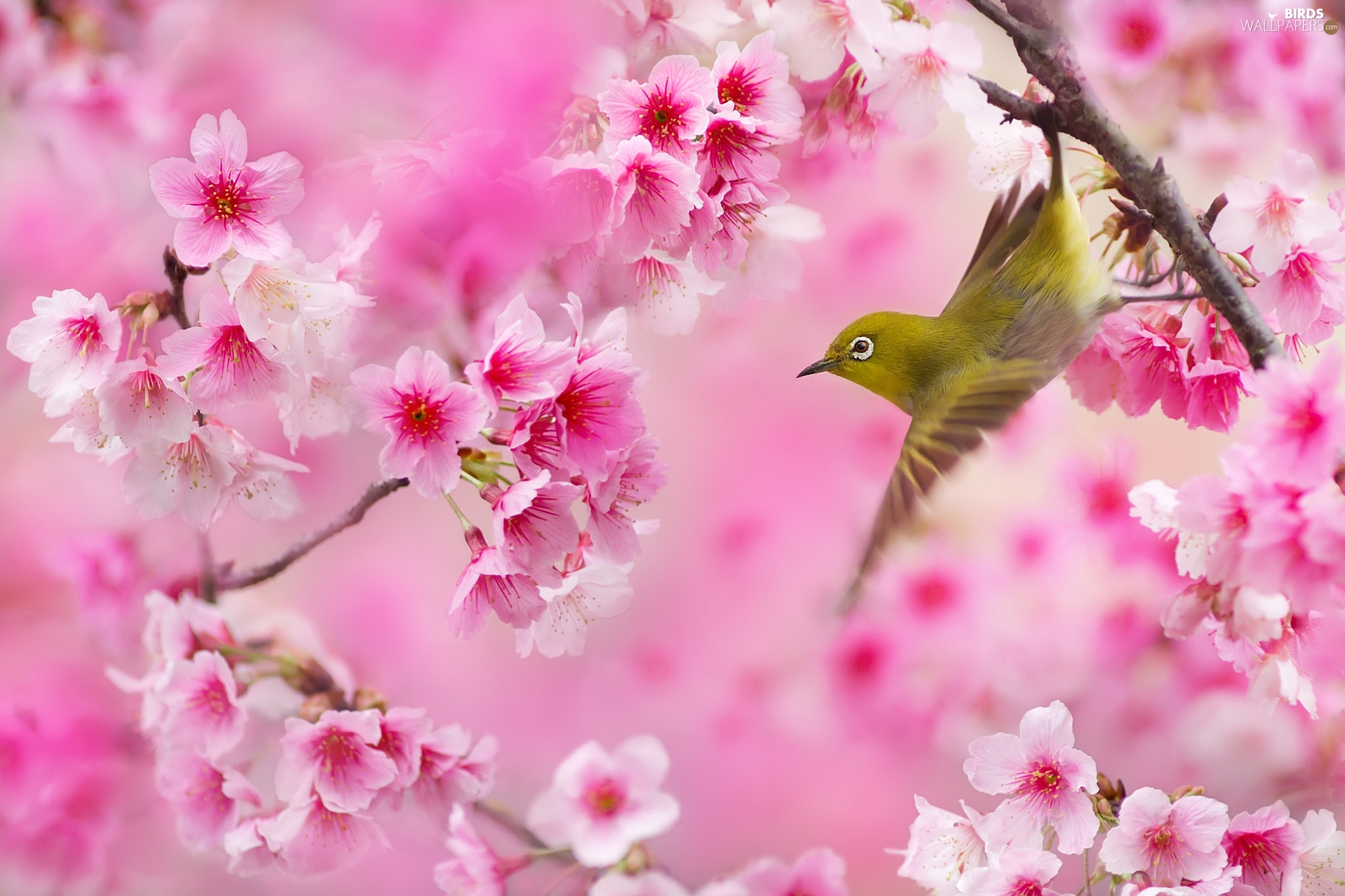 Flourished, Bird, Pink, Flowers, Twigs, Zosterops