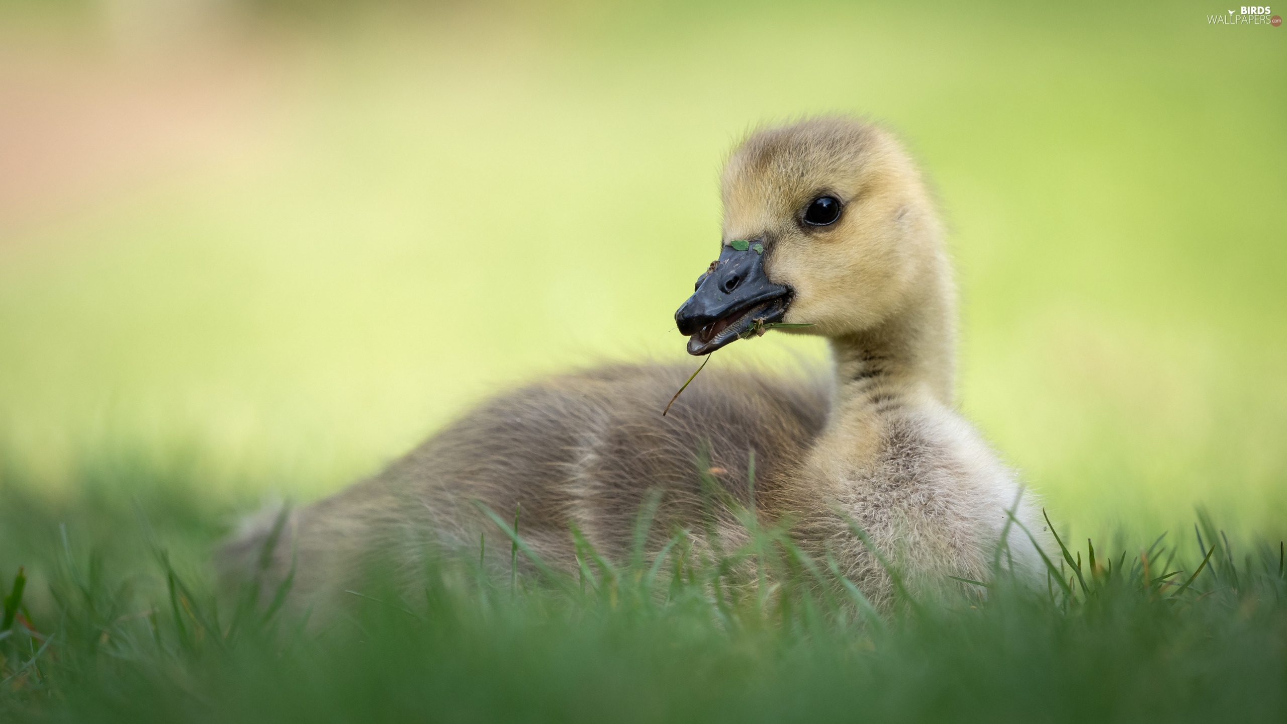small, goose, grass, laying