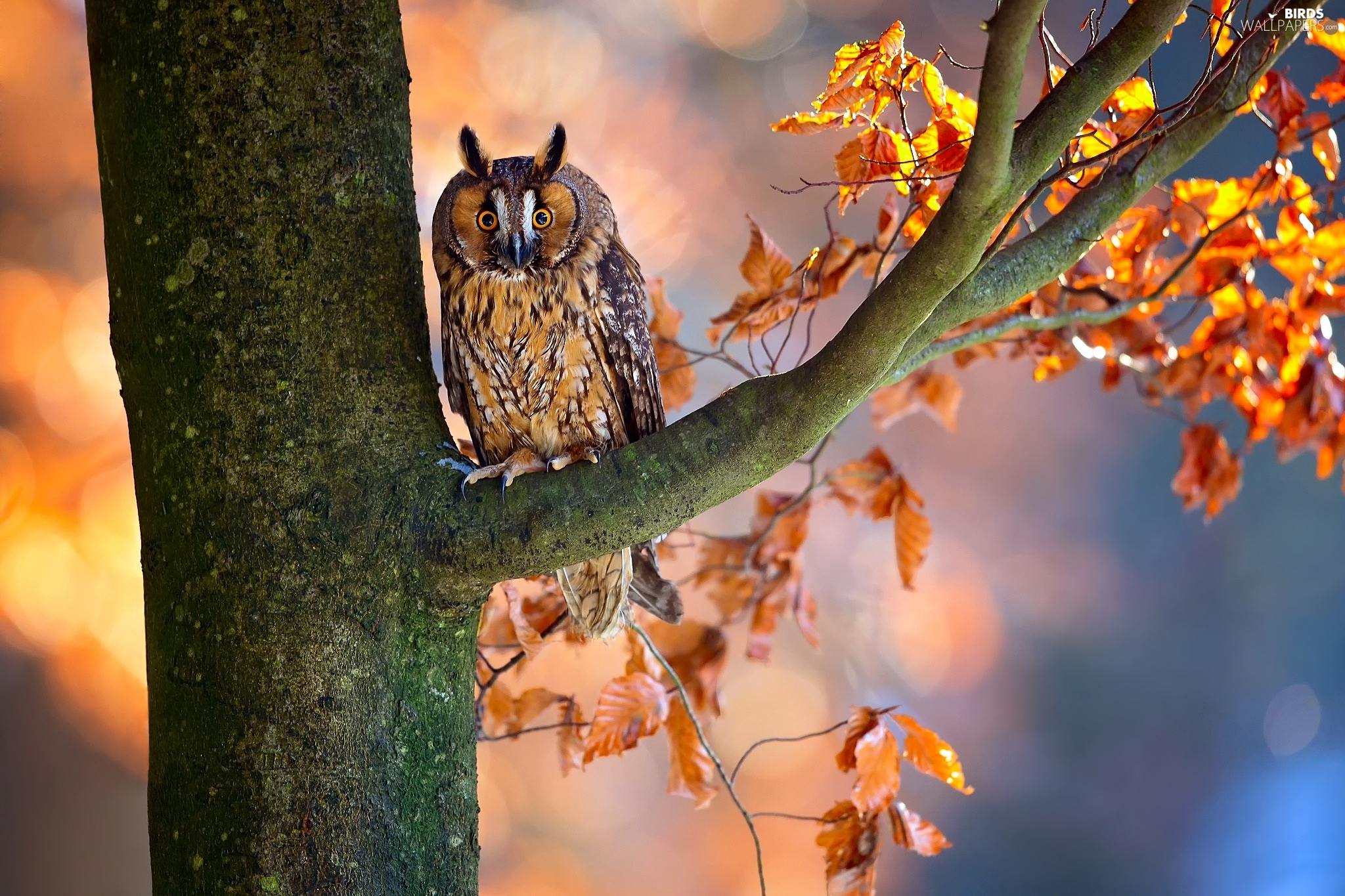 owl, trees, Leaf, Long-eared Owl