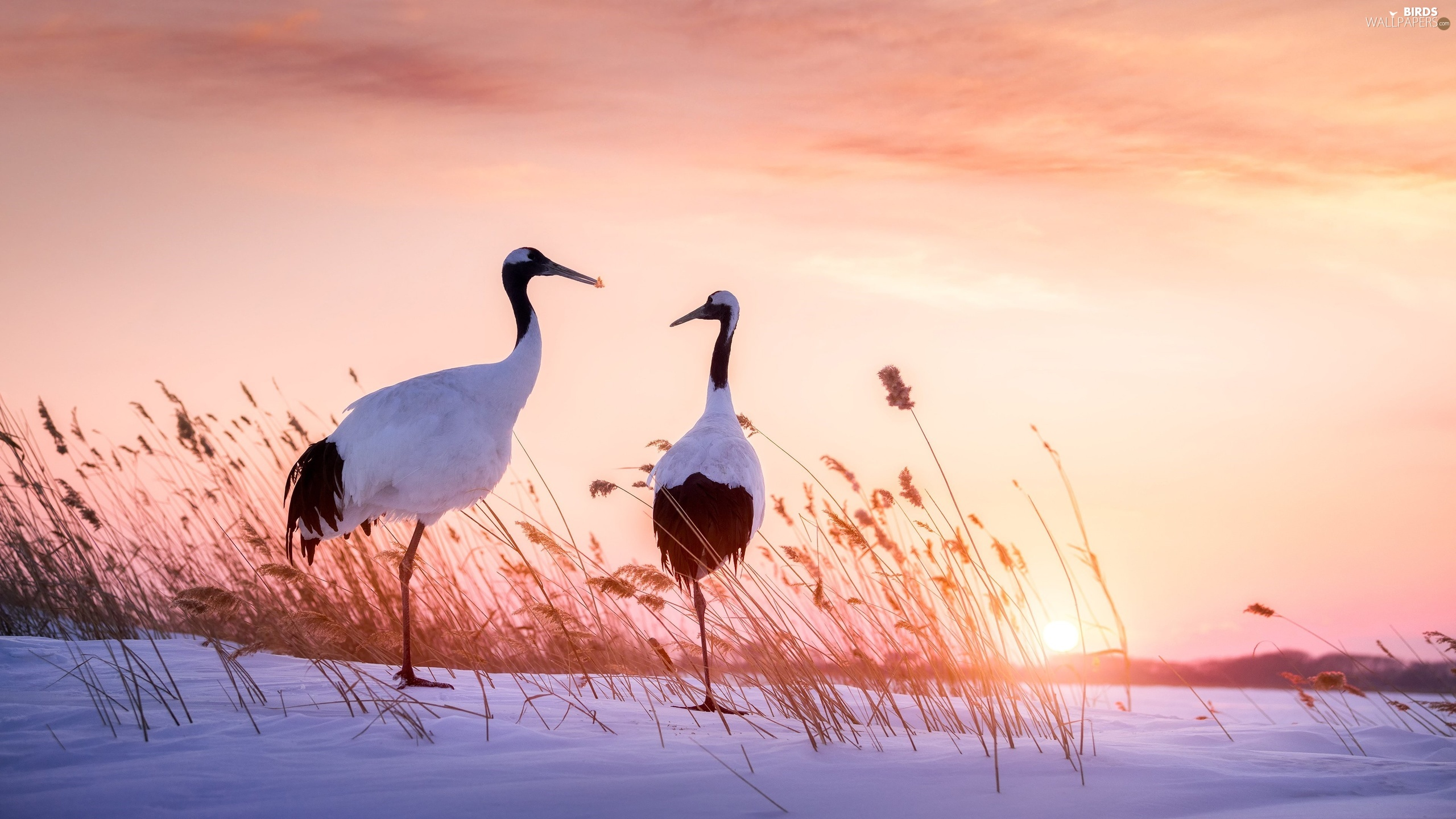 Manchurian Cranes, Two cars, snow, Cane, Great Sunsets, birds
