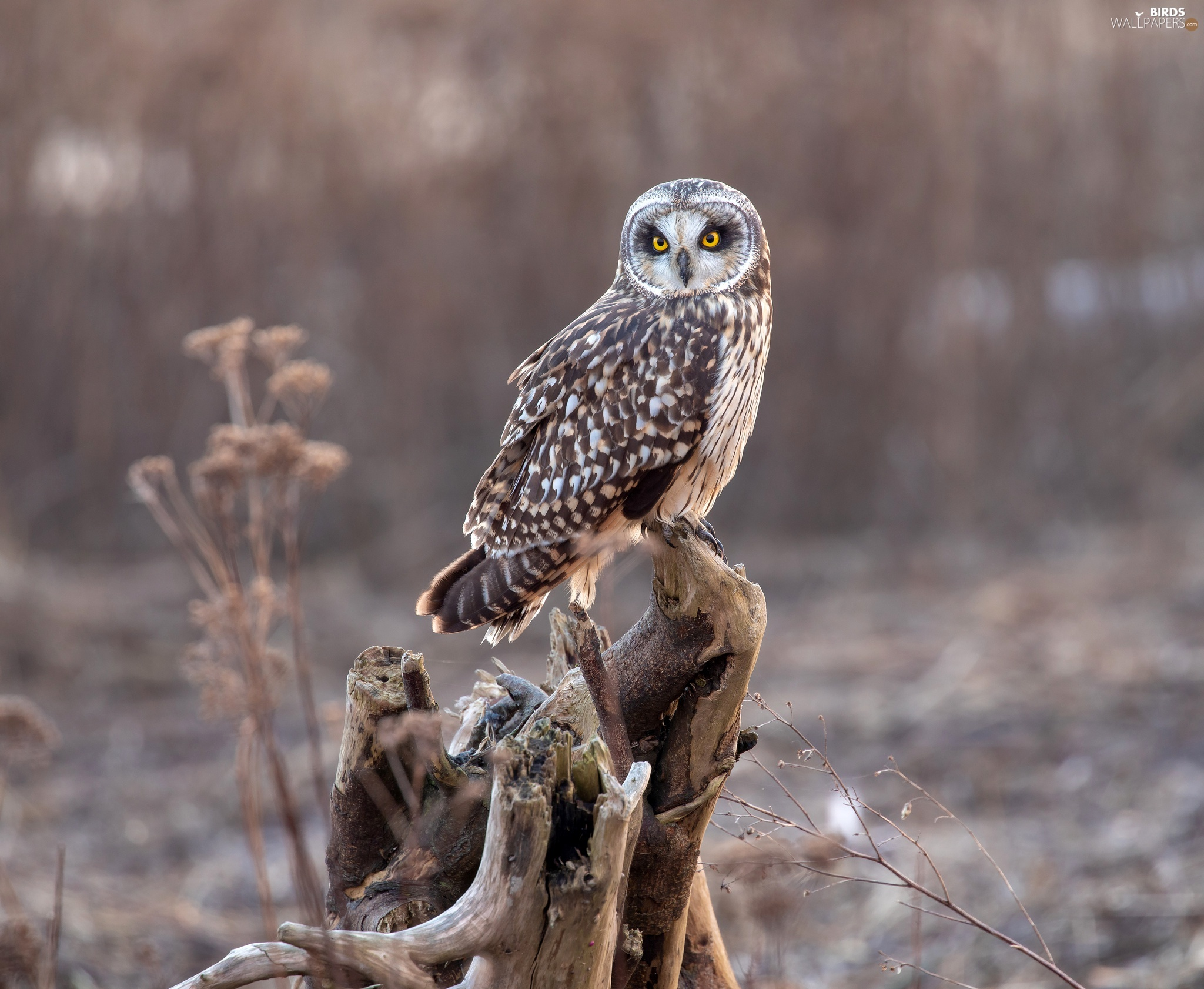 trunk, owl, Short-eared Owl