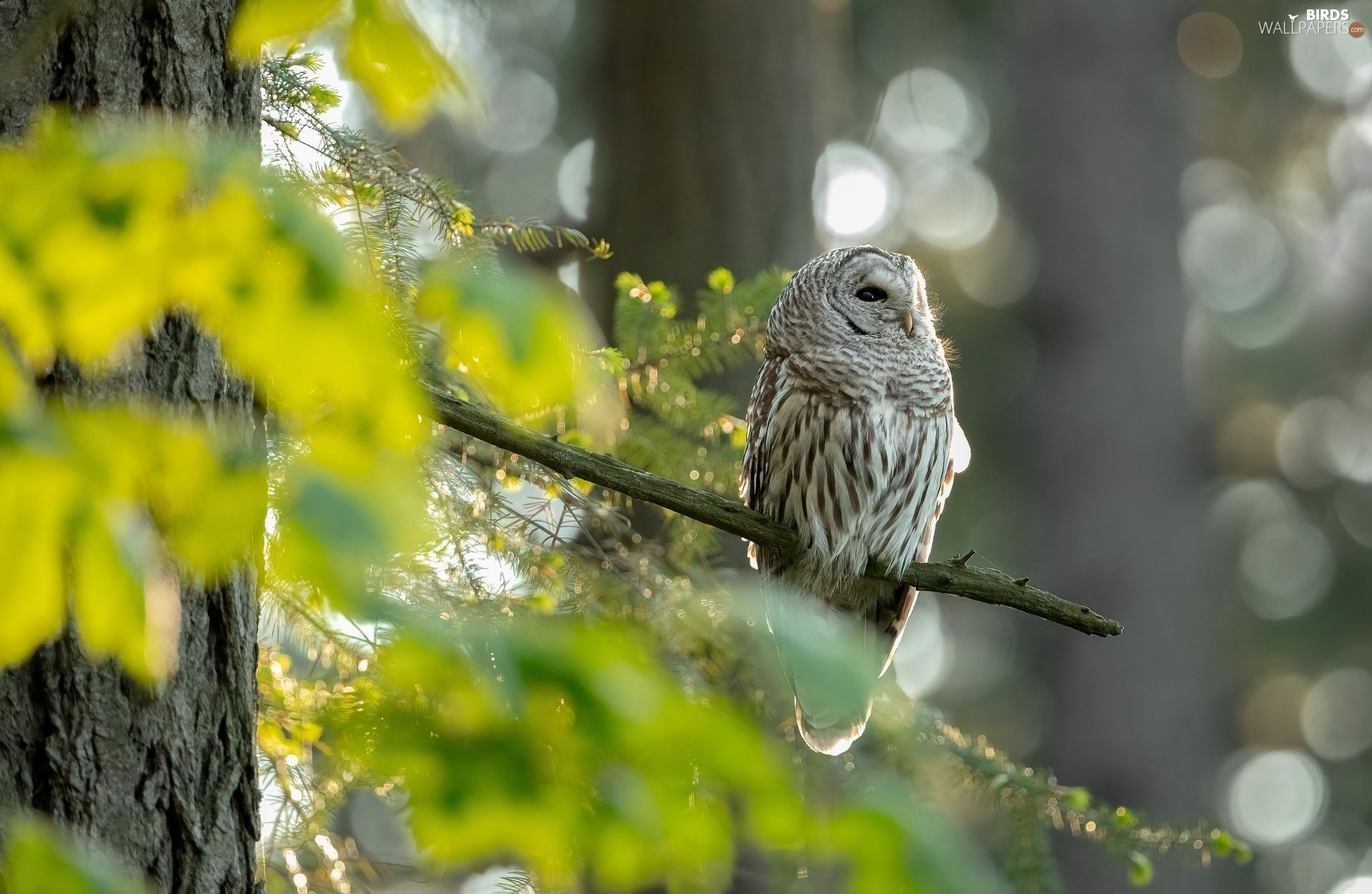 twig, owl, Brown Owl